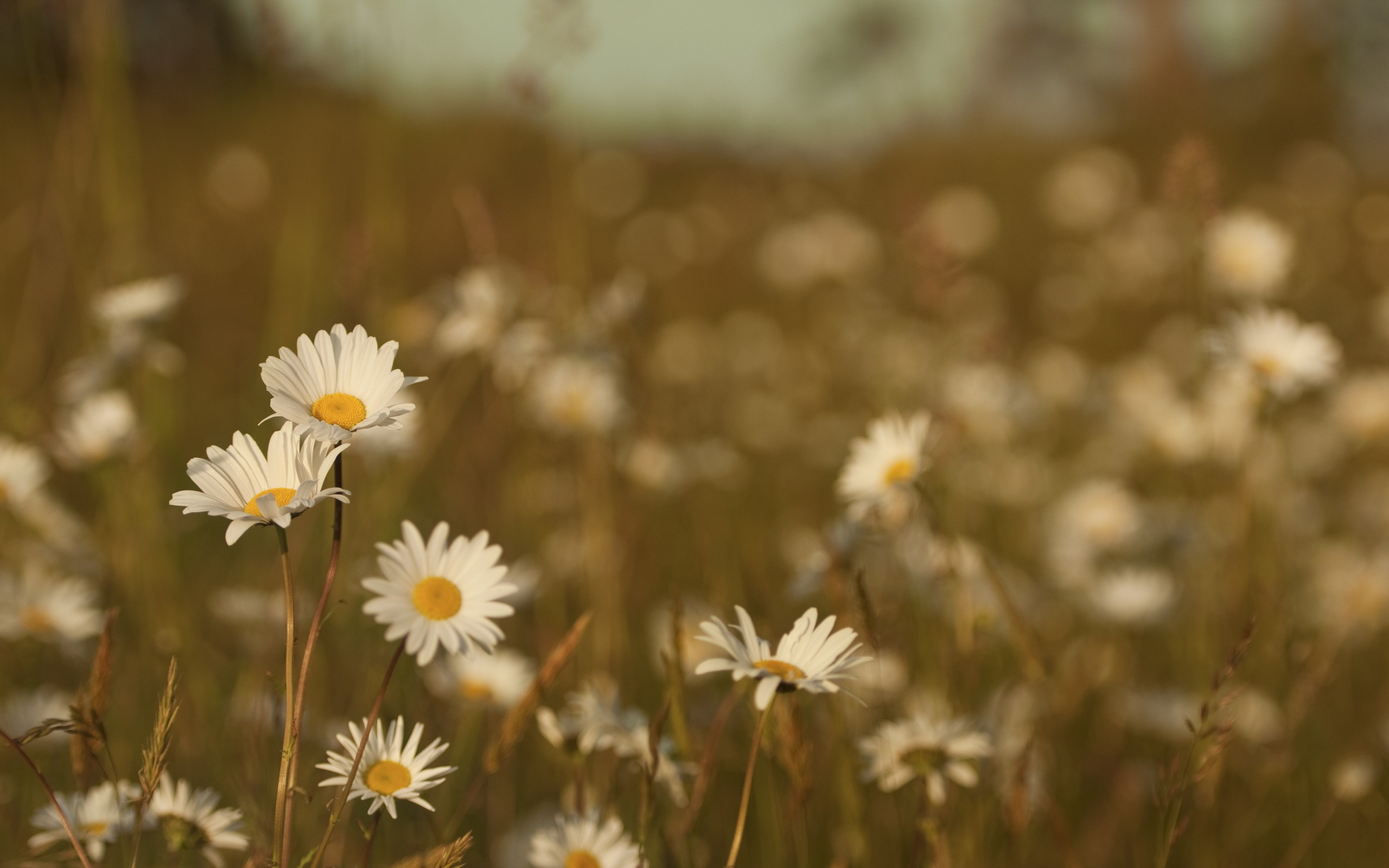 nature-flowers-daisies-on-a-blurred-background-07142051DF9D25-6449-F7CD-D09F-058B0C1BA8BD.jpg